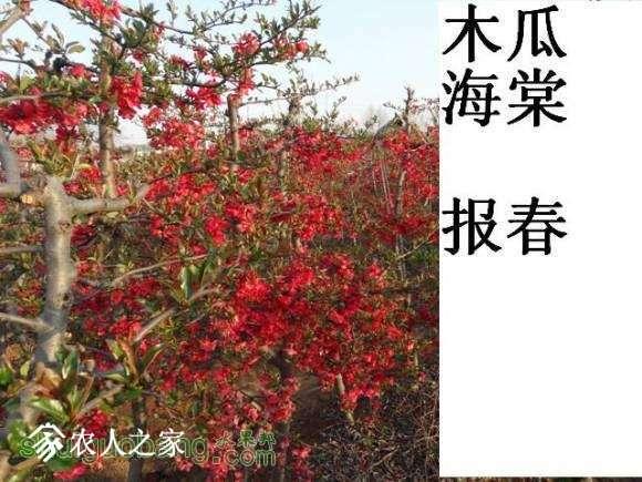 蜀红报春开花图162648xn02q252z6zpop5m (4).jpg