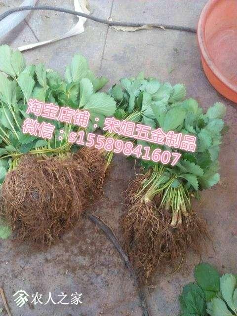 草莓苗三.jpg