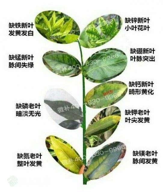 树叶颜色判断缺什么元素.jpg