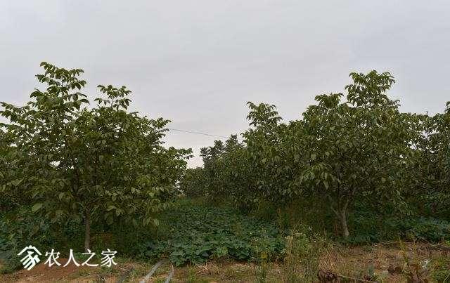 许昌核桃2.jpg