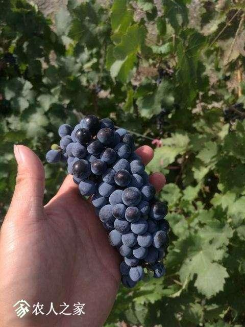 新疆的葡萄跟我们这边栽丝瓜一样省心。。那股香甜无法形容,这是库尔勒一个朋友的园子。他说他种葡萄的,我 ...