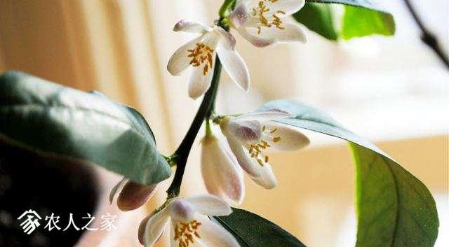 meyer的花
