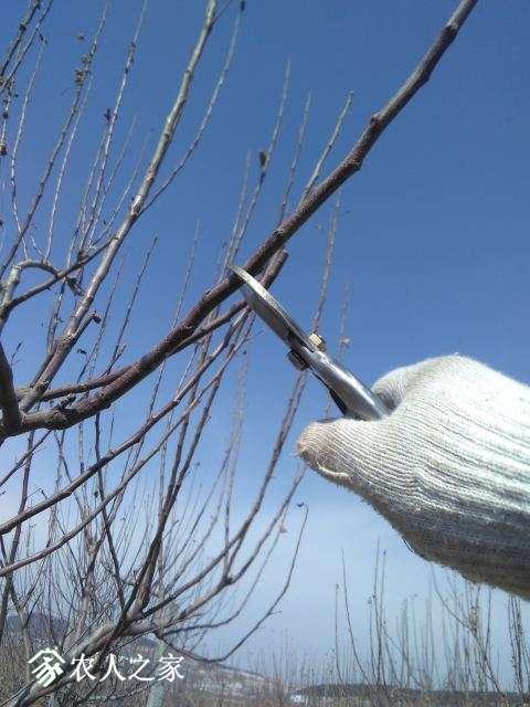 剪口下第二芽为当年延长枝