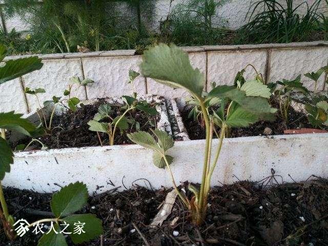 180416草莓4.jpg