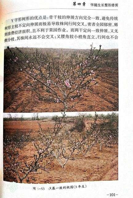 桃树修剪2.jpg
