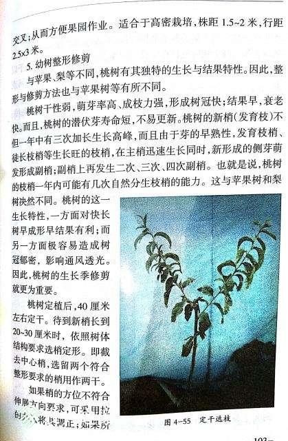 桃树修剪3.jpg