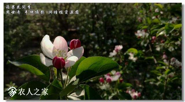 苹果花2.jpg