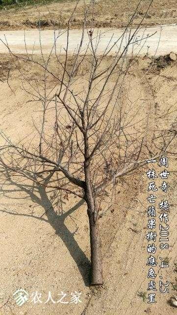 一株死亡苹果树的应急处置1.jpg