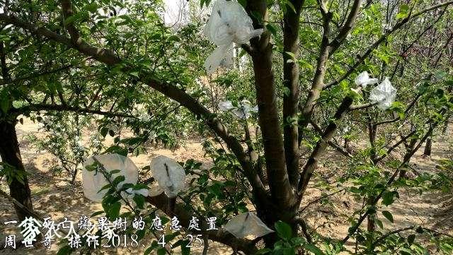 一株死亡苹果树的应急处置3.jpg