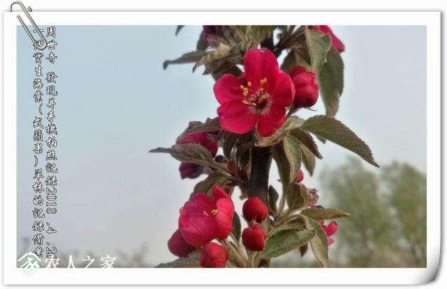 红海棠新品种.jpg