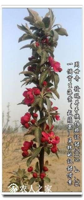 红海棠新品种2.jpg