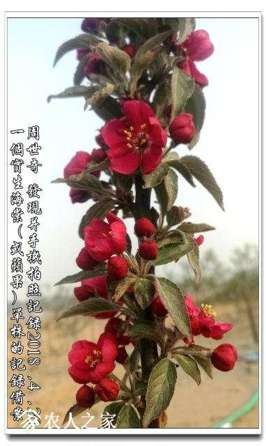 红海棠新品种4.jpg