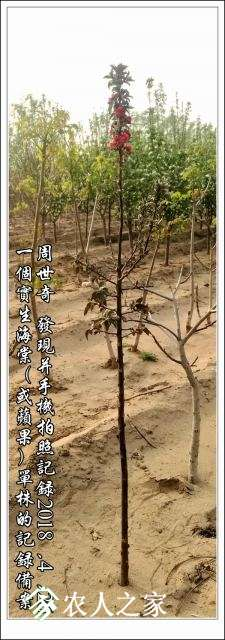 红海棠新品种5.jpg
