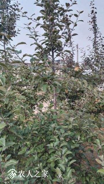 苹果1树体