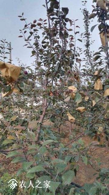 苹果2树体