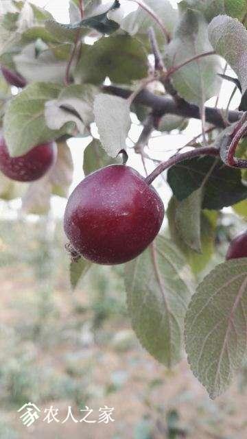 苹果2-2.jpg