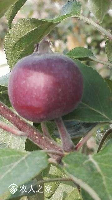 苹果1-1.jpg