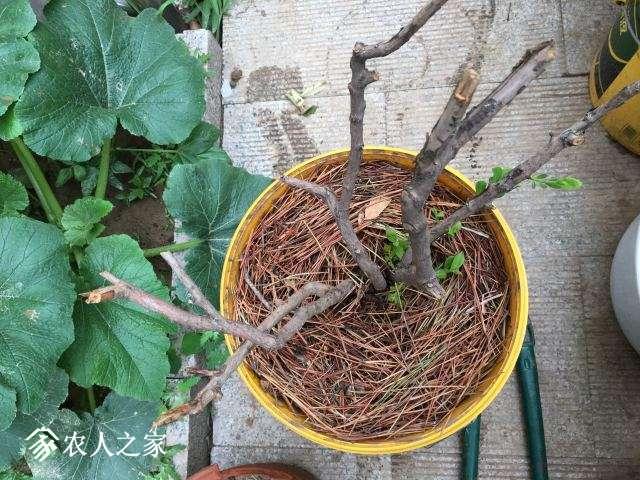 6岁的老苗干枯后又发新芽