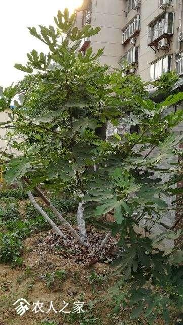 布树.jpg