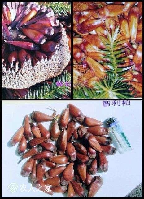 智利南洋杉种子.jpg