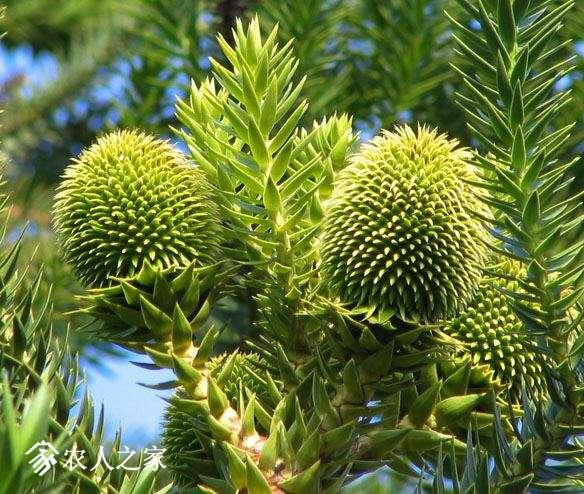 ARangustifolia0152.jpg