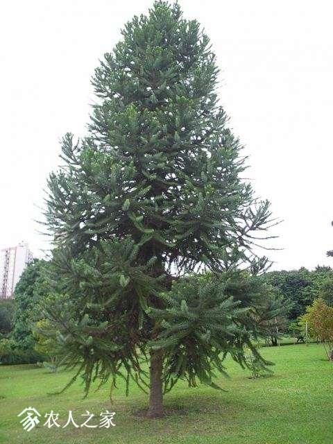 Araucaria_angustifolia_whole_plant_photo_file_379KB.jpg