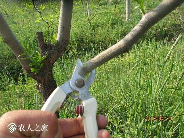 第一步:开始剪砧木