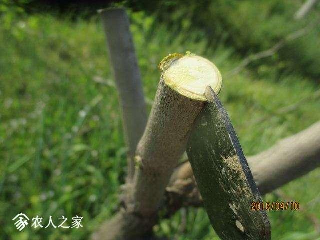 处理砧木接口