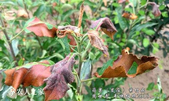 苹果炭疽叶枯病2.jpg