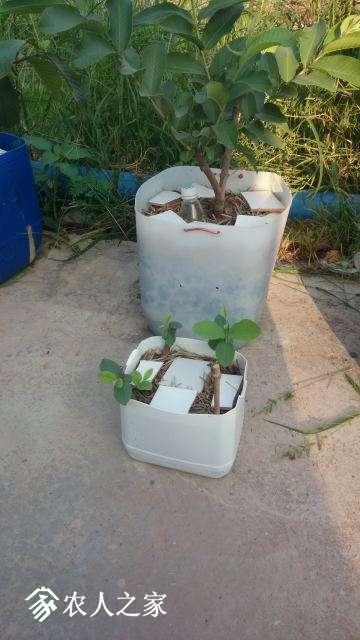 母树和扦插苗