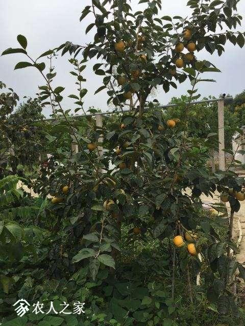 9月中下旬的实生结果柿树结果-1.JPG