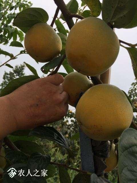 9月中下旬的实生结果柿树结果-4.JPG