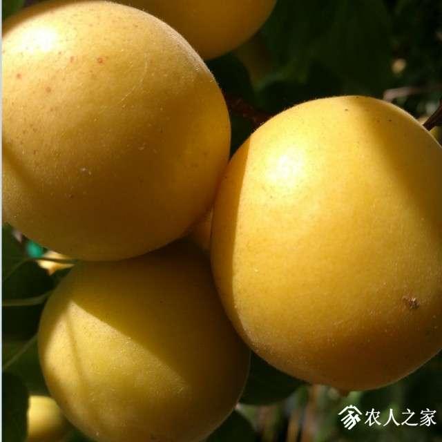 杏树苗木1.jpg