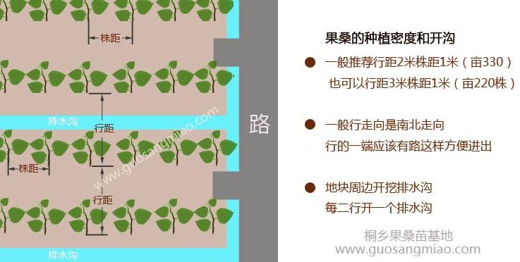果桑种植密度和开沟.jpg