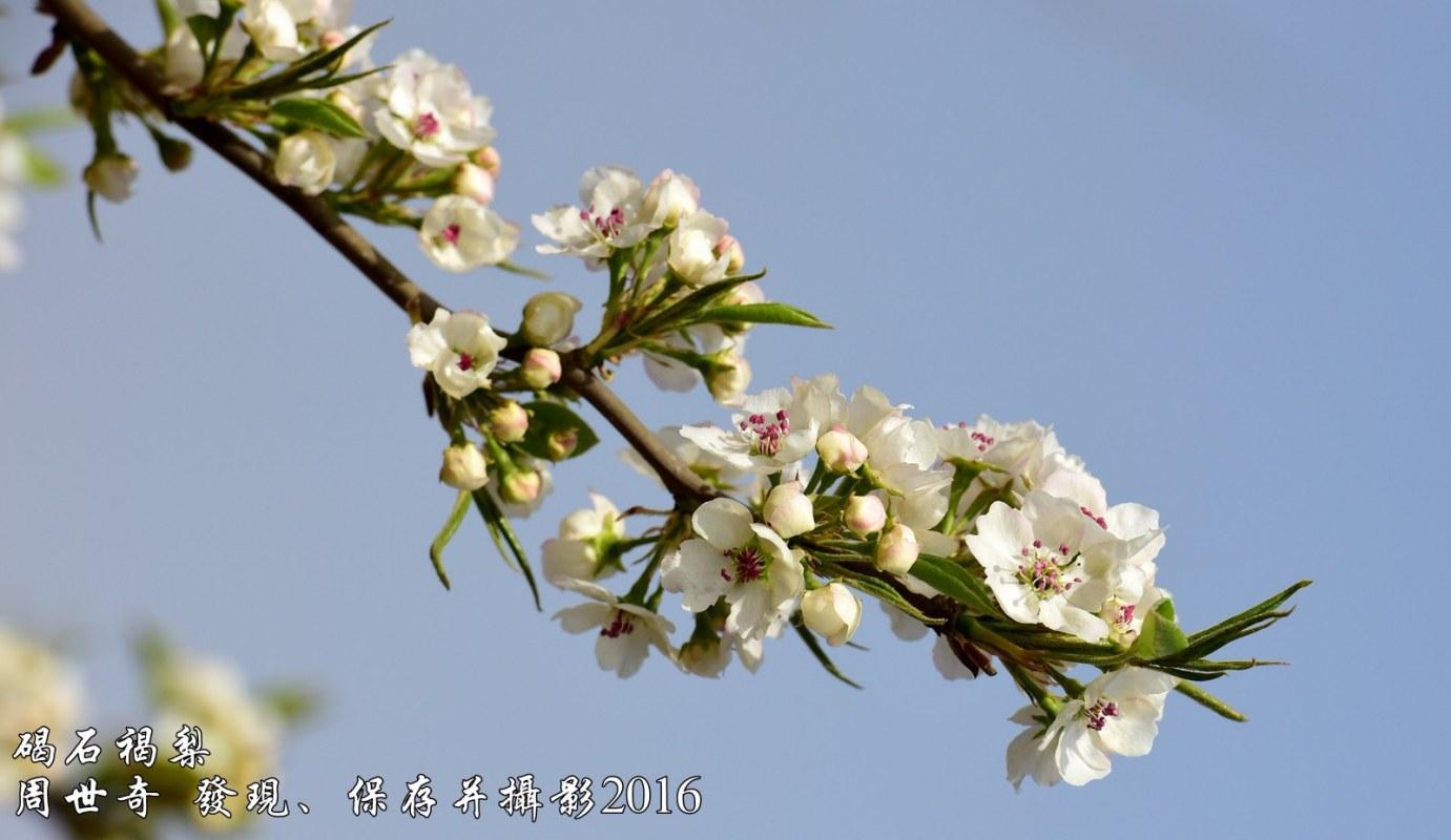 碣石褐梨3.jpg