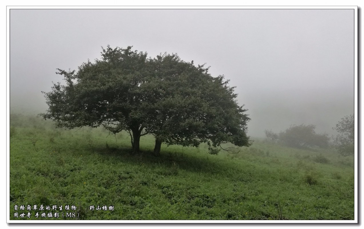 野山楂1.jpg