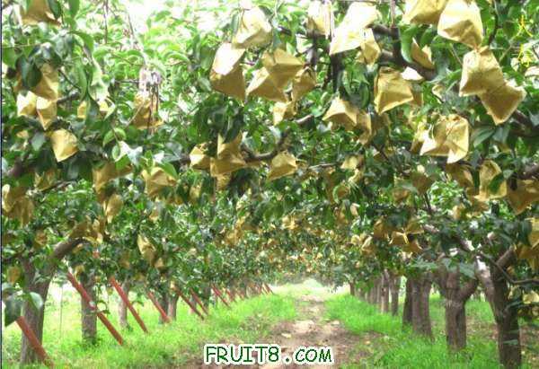 梨树.jpg