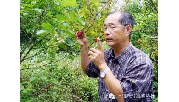 台湾本土猕猴桃完熟甜美 突破低温魔咒-一个育种者的故事