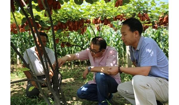 西北农林科大安德荣教授:酷暑教授果园忙