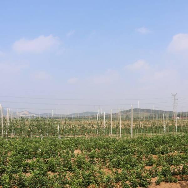 威海苹果产业现代转型成功案例——樱聚缘